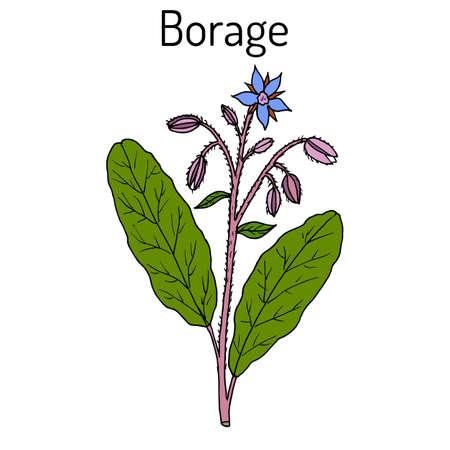 Borage Borago officinalis , or starflower, culinary and medicinal plant Vector Illustration