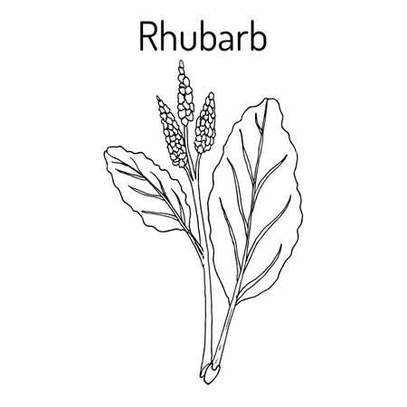 Rhabarber Rheum rhabarbarum, kulinarische und Heilpflanze.