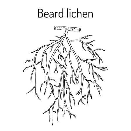 Beard lichen Usnea barbata , or tree moss