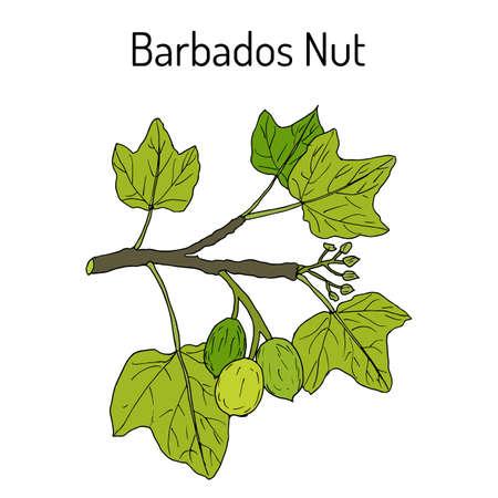 Barbados nut Jatropha curcas , tropical poisonous plant Illustration