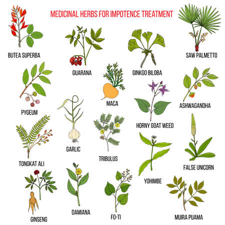 impotence: Best herbs for impotence treatment. Hand drawn set of medicinal herbs