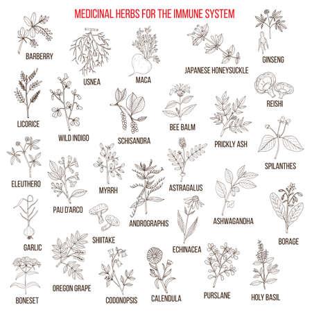 免疫システムの最も薬効があるハーブ  イラスト・ベクター素材