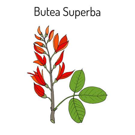 impotence: Butea superba asian vining shrub