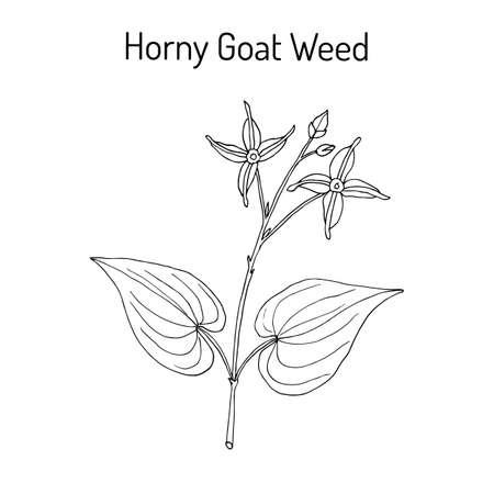 impotence: Horny Goat Weed Epimedium sagittatum , medicinal plant