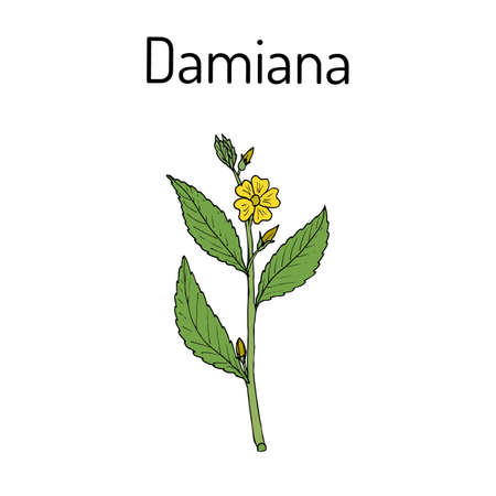 damiana: Damiana Turnera diffusa , medicinal plant