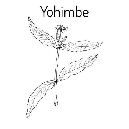 Yohimbe Pausinystalia johimbe , medicinal plant. Hand drawn botanical vector illustration Illustration
