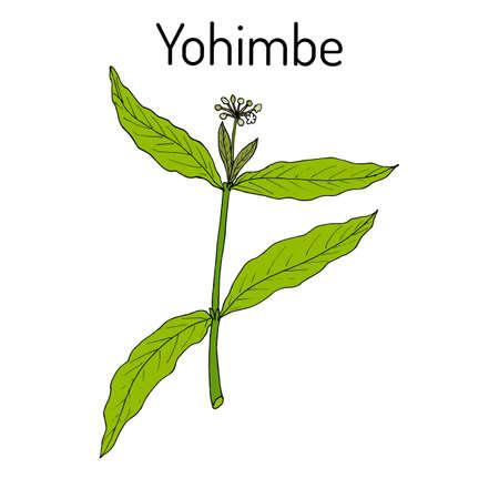 Yohimbe Pausinystalia johimbe , medicinal plant. Hand drawn botanical vector illustration Ilustração