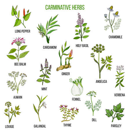 Carminative herbs. Hand drawn vector set of medicinal plants Illustration