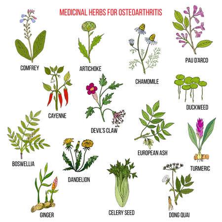 Las mejores hierbas medicinales para la osteoartritis. Dibujado a mano conjunto de hierbas medicinales Foto de archivo - 74475037