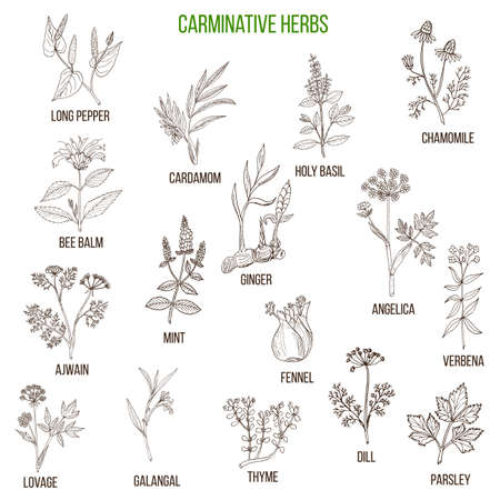 carminative: Carminative herbs. Hand drawn vector set of medicinal plants Illustration
