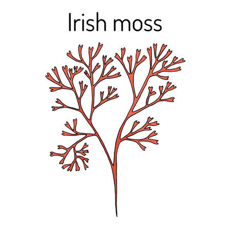 Irish moss Chondrus crispus , red alga. Hand drawn botanical vector illustration