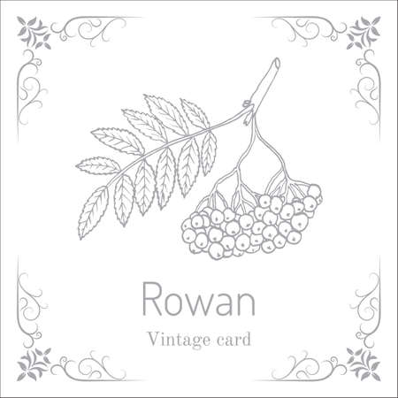 bunchy: Rowan or mountain-ash tree branch with berries Illustration