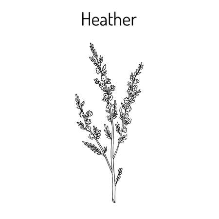 Heather calluna vulgaris Zweig mit Blättern und Blüten Vektorgrafik