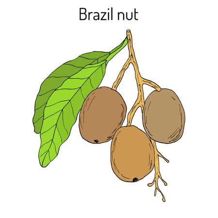 Brazil nut Bertholletia excelsa .