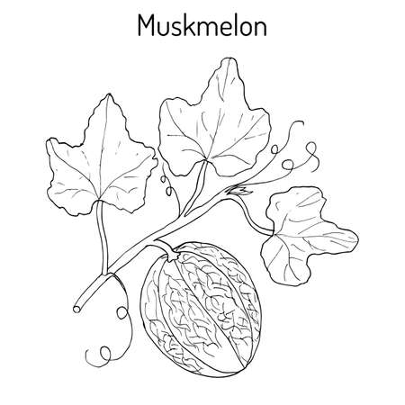 Muskmelon or Cucumis melo. Hand drawn botanical vector illustration Stock Vector - 74485866