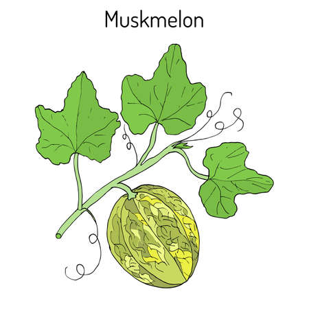 Muskmelon or Cucumis melo. Hand drawn botanical vector illustration Illustration