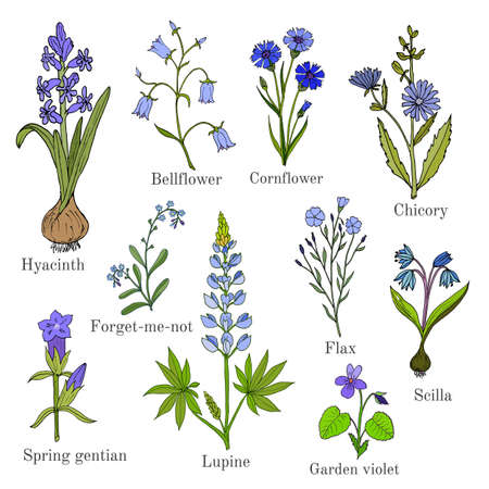 forget me not: Set of blue flowers plants - bellflower, cornflower, chicory, flax, scilla, lupine, forget-me-not, violet, hyacinth, spring gentian. Hand drawn botanical vector illustration