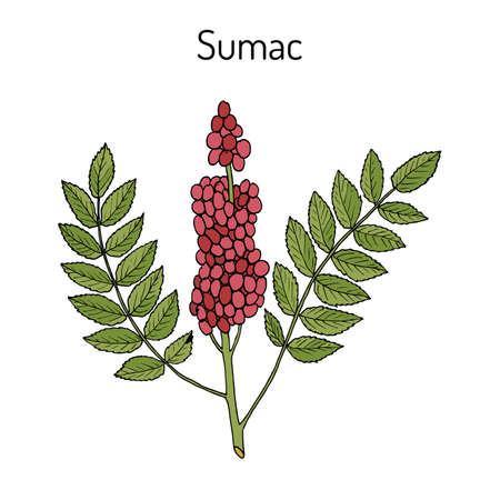 Sicilian sumac Rhus glabra branch with leaves and berries. Hand drawn botanical vector illustration Imagens - 74443479