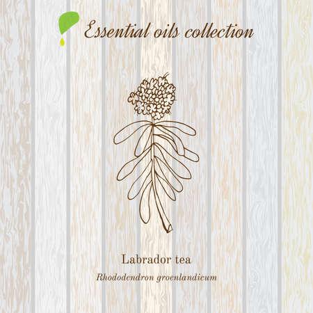 labrador: Labrador tea, essential oil label, aromatic plant. Vector illustration Illustration