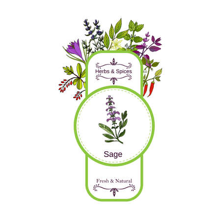 Vintage herbs and spices label collection. Sage hand drawn vector illustration 免版税图像 - 74443535