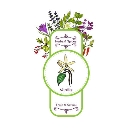Vintage herbs and spices label collection. Vanilla hand drawn vector illustration