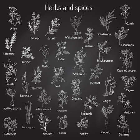 marjoram: Hand drawn set of culinary herbs and spices. Vector illustration. Illustration