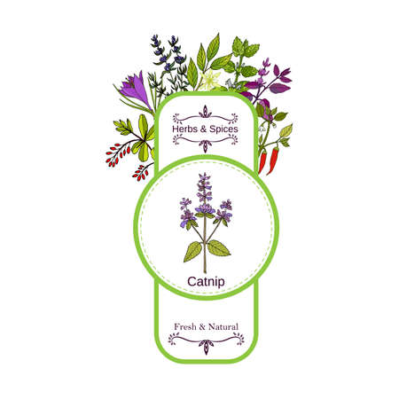 Vintage herbs and spices label collection. Catnip hand drawn vector illustration