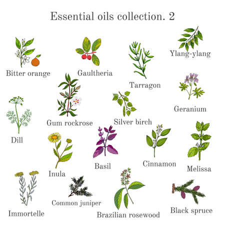 Set of essential oil plants bitter orange, gaultheria, tarragon, ylang-ylang, dill, gum rockrose, birch, geranium, inula, basil, cinnamon, melissa, immortelle juniper brazilian rosewood black spruce Hand drawn ector illustration