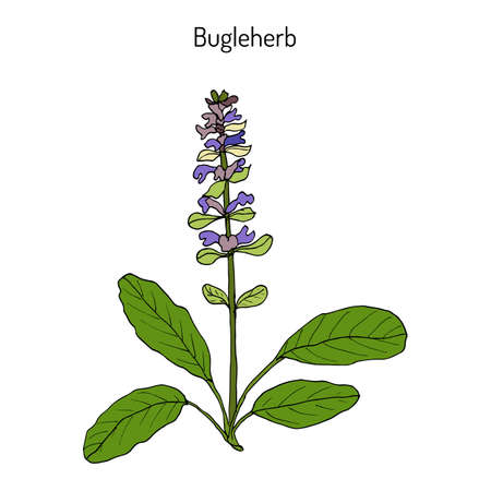 Bugleweed Ajuga reptans , or blue bugle, bugleherb, carpetweed. Hand drawn botanical vector illustration