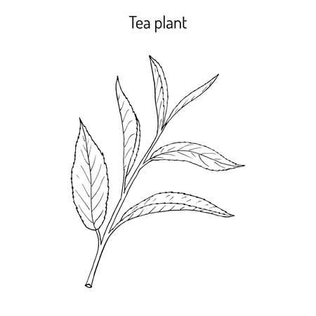 Tea plant Camellia sinensis . Hand drawn botanical vector illustration