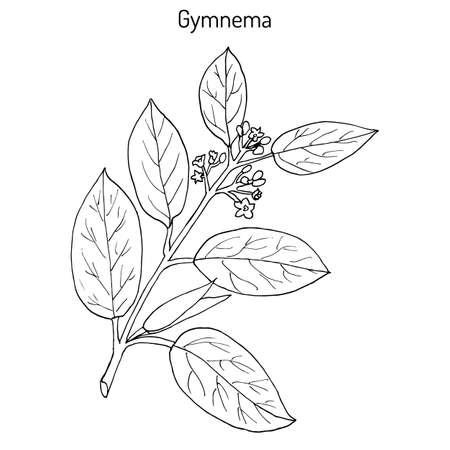 Gymnema Sylvestre, oder Cowplant, Gurmari, Heilpflanze. Hand gezeichnet botanischen Vektor-Illustration Standard-Bild - 74327339