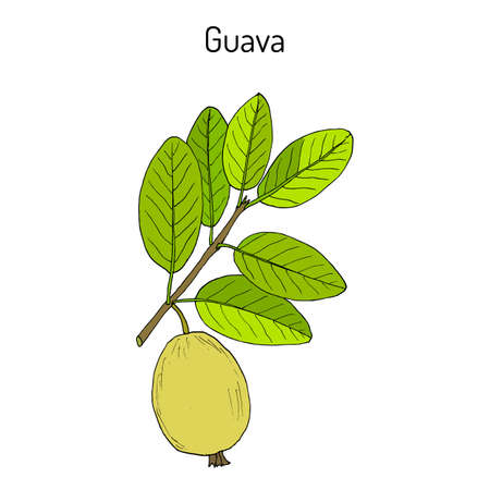 Yellow guava Psidium guajava , tropical fruit. Hand drawn botanical vector illustration