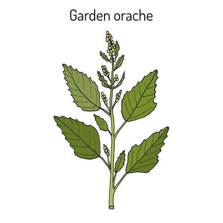 Garden orache Atriplex hortensis , or red arrach, French spinach. Hand drawn botanical vector illustration Illustration