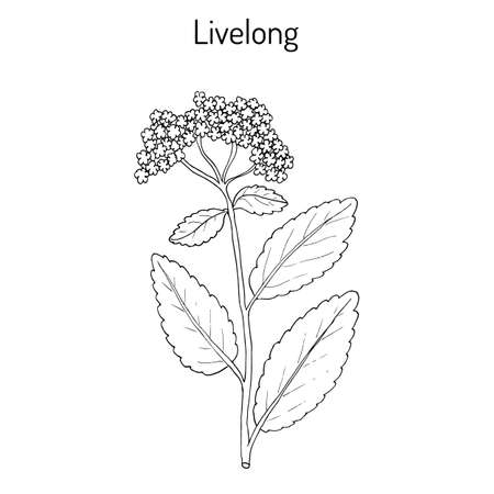 Orpine Sedum Telephium , or livelong, frog s-stomach, harping Johnny, life-everlasting, live-forever, midsummer-men, Orphan John, witch s moneybags, succulent. Hand drawn botanical vector ollustration