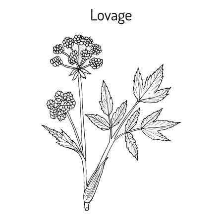 lovage: Lovage levisticum officinale , culinary and medicinal herb. Hand drawn botanical vector illustration