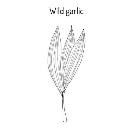 Wild leek, bear garlic Allium ursinum , or ramsons, buckrams, medicinal plant. Hand drawn botanical vector illustration