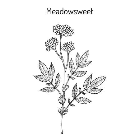 Meadowsweet Filipendula ulmaria , or Meadow-Wort, Meadow Queen, Dollof, Meadsweet, Bridewort, medicinal plant. Hand drawn botanical vector illustration