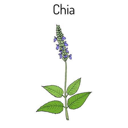Chia Salvia hispanica healthy superfood. Hand drawn botanical vector illustration Stock Vector - 74328058