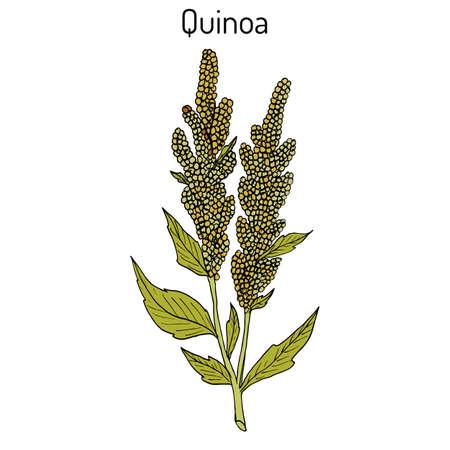 Quinoa Chenopodium quinoa superfood, healthy plant. Hand drawn botanical vector illustration 일러스트
