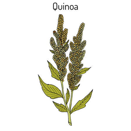 Quinoa Chenopodium quinoa superfood, healthy plant. Hand drawn botanical vector illustration 向量圖像