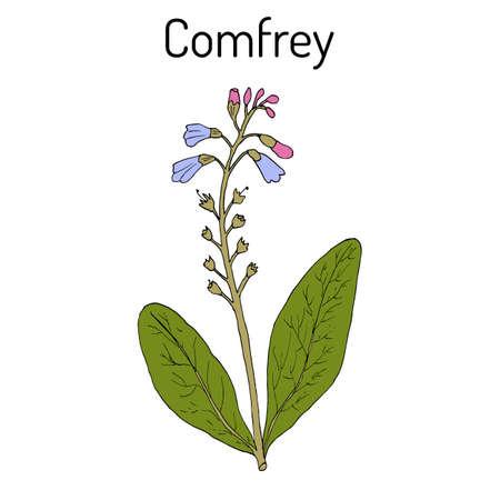 Comfrey Symphytum officinale , or boneset, knitbone, consound, slippery-root, medicinal plant. Hand drawn botanical vector illustration