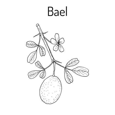 bengal: Bael Aegle marmelos , or Bengal quince, golden apple, Japanese bitter orange, stone or wood apple, medicinal plant. Hand drawn botanical vector illustration Illustration