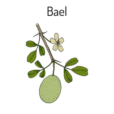 golden apple: Bael Aegle marmelos , or Bengal quince, golden apple, Japanese bitter orange, stone or wood apple, medicinal plant. Hand drawn botanical vector illustration Illustration