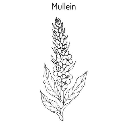 Great mullein Verbascum thapsus , medicinal plant. Hand drawn botanical vector illustration Illustration