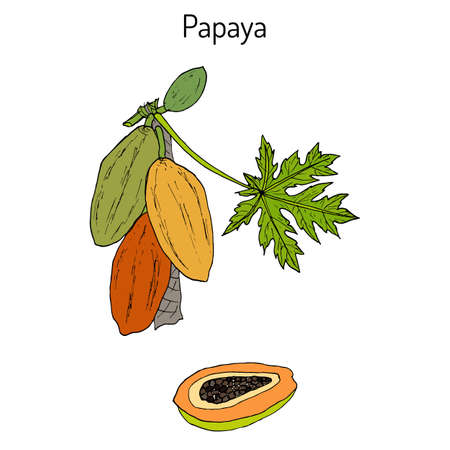Papaya Carica papaya , or papaw, pawpaw, tropical fruit tree. Hand drawn botanical vector illustration Illustration