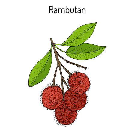 Rambutan Nephelium lappaceum , tropical fruit. Hand drawn botanical vector illustration