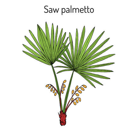 Saw Palmetto Serenoa repens , medicinal tree. Hand drawn botanical vector illustration Ilustração