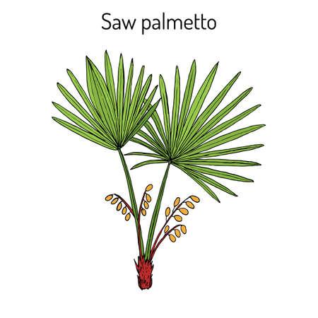 Saw Palmetto Serenoa repens, medicinale boom. Hand getrokken botanische vectorillustratie