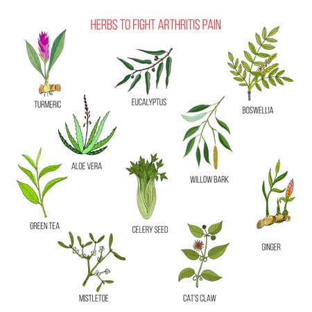Herbs to fight arthritis pain turmeric, eucalyptus, boswellia, aloe vera, willow, celery, tea, mistletoe ginger cat claw Hand drawn botanical vector illustration Illustration