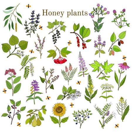 Pflanzen - Nektarquellen für Honigbienen. Vektor Hand gezeichnet Satz